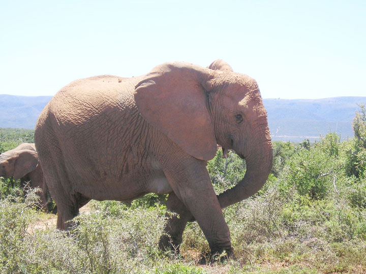 Elephant, Addo, South Africa, photo by Terry Odell