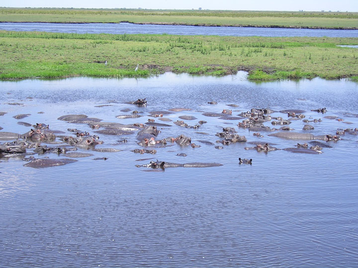 Hippos, Chobe, photo by Terry Odell